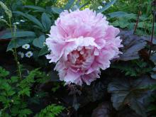 Paeonia (Pion) Sarah Bernhard