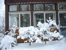 Pelaräpple och uppstammade röda vinbär i vinterskrud