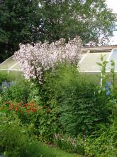 Campanula lactiflora(mjölkklocka).