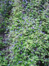 Clematis alpina(alpklematis) Blommar 2 gånger under säsongen