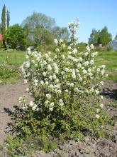 Amelanchier alnifolia Smokey (bärhäggmispel)