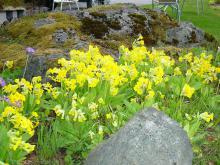 Primula veris  ( Gullviva), vårblommande