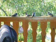 Ladusvalungar på balkongräcket