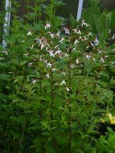 Gillenia trifoliata (Trebladsspira)