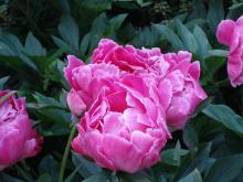 Paeonia officinales Rosea Plena (Rosa Bondpion)