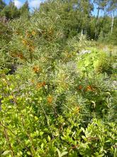 Hippophae rhamnoides (havtorn)