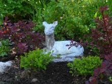 Rådjuret vilar under en olvonbuske. Rödbladig berberis t.v.och t.h.