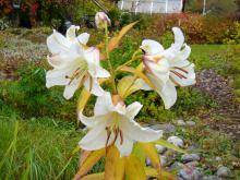 Casa Blanca Trots höstfroster står sig blommorna