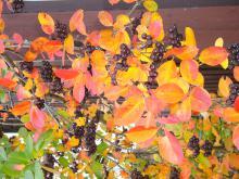 Skörd av aronia Busken har mycket vacker höstfärg