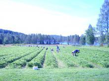 Plockning i Honeoyelandet. Smörsjön i bakgrunden (nostalgibild)
