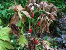 Endast de röda frukterna finns kvar på fotbladen