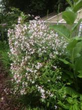 28 juli 2017 Gillenia trifoliata  Trebladsspira