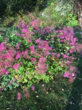 28 september 2017 Filipendula kahome älgört (vacker, buskliknande älgört)