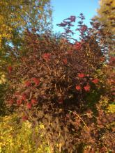 28 september 2017 rödbladig smällspirea blommar