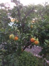 6 oktober Det lilla apelsinträdet bär också frukt