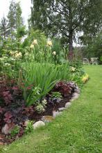 Trädgårdsiris (Iris barbata)