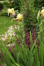 Trädgårdsiris (Iris barbata) m.fl.