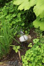 kråkfågel i sten bland japanska aklejor (Aquilegia flabellata)