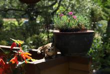 Stugtrapp med knölbegonia, ekorre och fjädernejlika