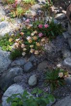 Lewisia cotyledon(bitterrot) i slutet av blomningen