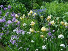 Iris sp (trädgårdsiris) och Hesperis matronalis (trädgårdsnattviol)