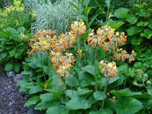 Primula florindae, Sommarvivans blommor kan vara röda,gula eller orangefärgade.